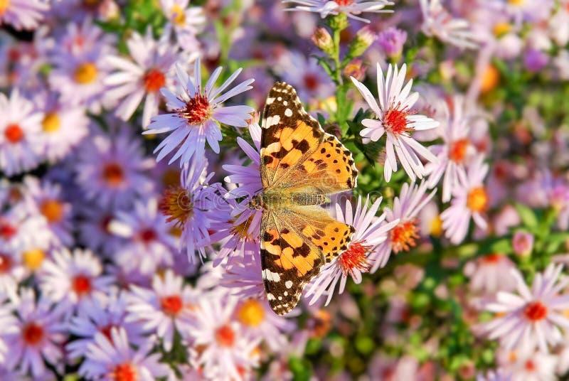 Geschilderde damevlinder op de bloem van de de herfstaster royalty-vrije stock foto's