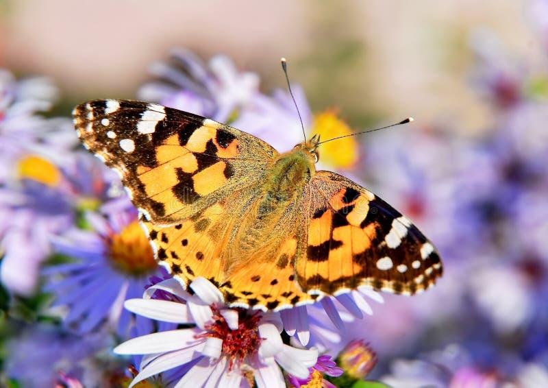 Geschilderde damevlinder op de bloem van de de herfstaster royalty-vrije stock afbeeldingen
