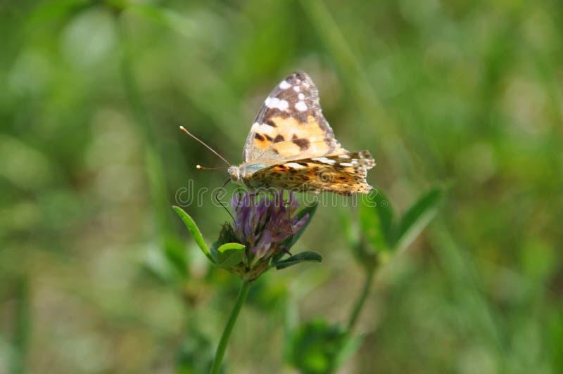 Geschilderde damevlinder op de bloem van klaver stock fotografie