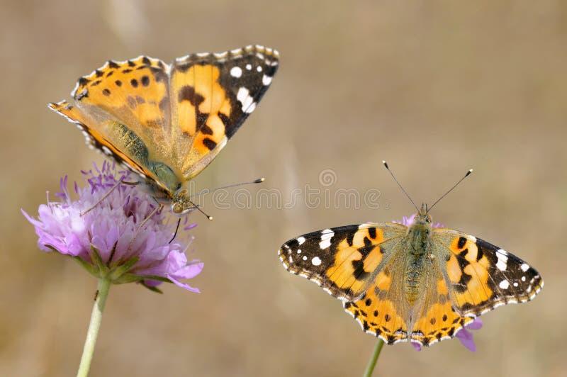 Geschilderde damevlinders op bloemen stock afbeelding