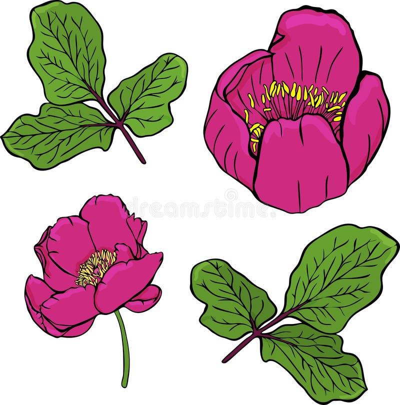 Geschilderde donkerrode pioen van een Krim en groen takje met bladeren vector illustratie