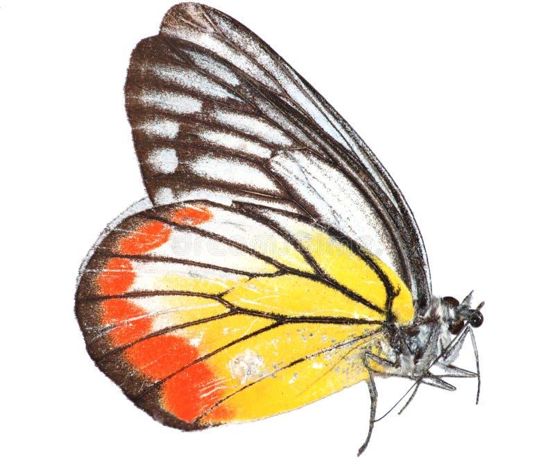 Geschilderde Jezebel vlinder stock afbeelding