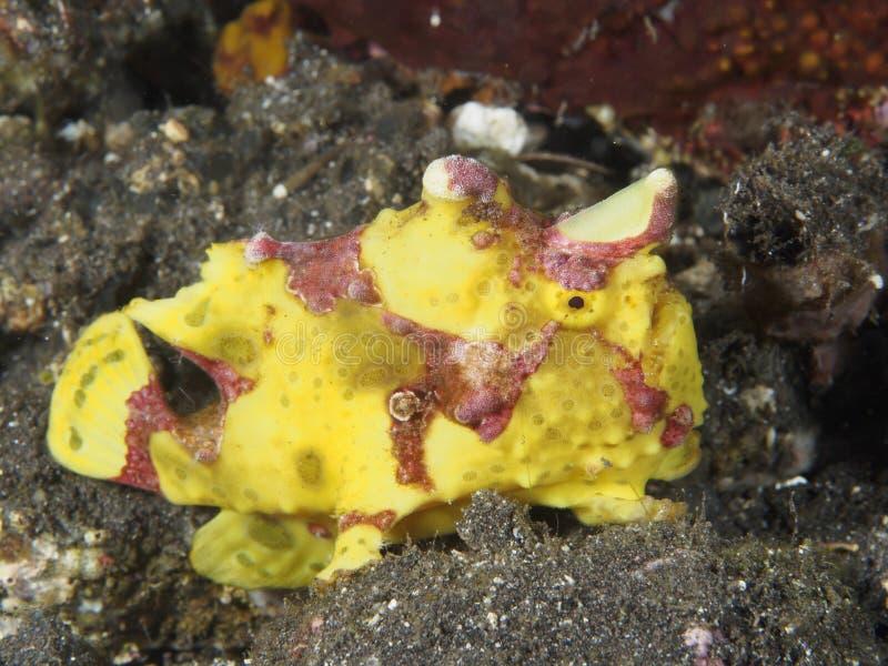 Geschilderde koraalvissen frogfish stock foto