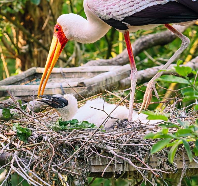 Geschilderde ooievaarsfamilie bij nest stock foto