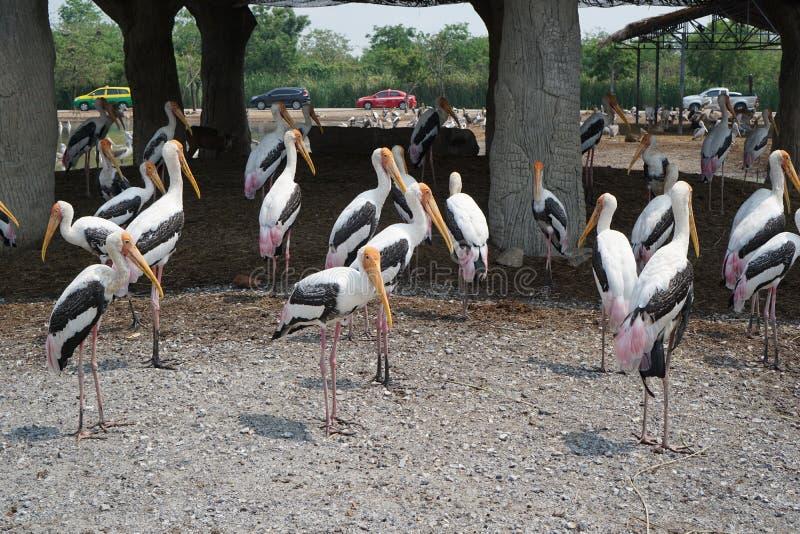 Geschilderde Ooievaarsgroep in Safari World royalty-vrije stock foto's