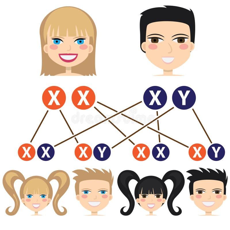 Geschlechtsabhängigkeit von den Chromosomen. vektor abbildung