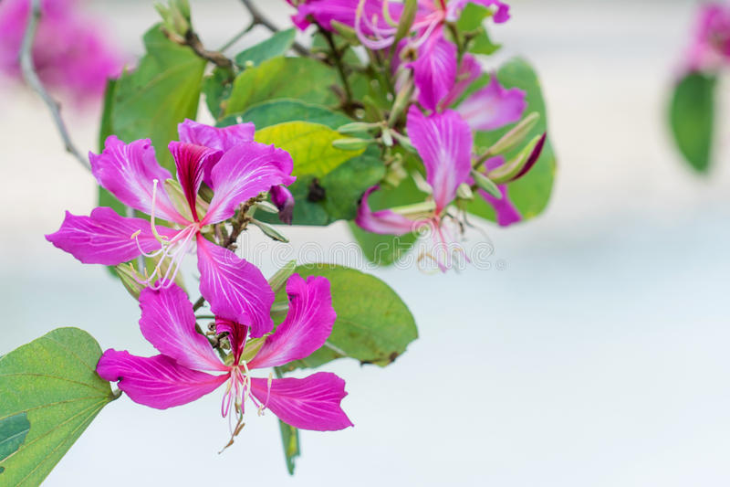 Geschlossen herauf rosa Blume Bauhinia purpurea oder Schmetterlings-Baum stockfotografie