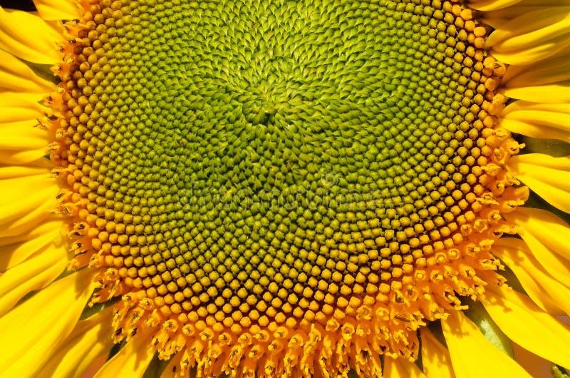 Geschlossen herauf Sonnenblume lizenzfreies stockbild