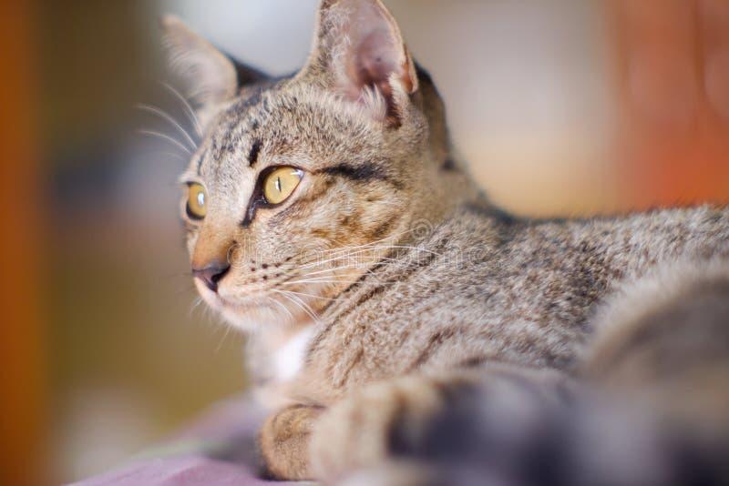 Geschlossen herauf thailändische graue und weiße Farben der Katze schlafen Sie auf Boden lizenzfreies stockfoto