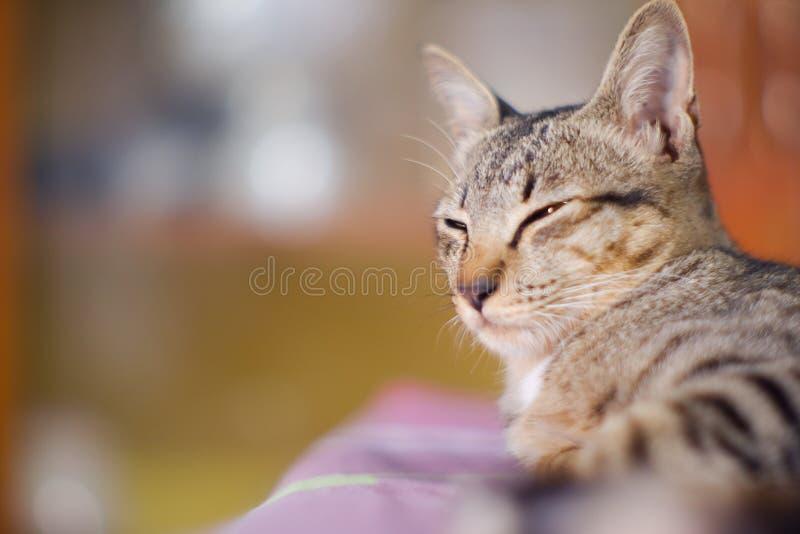 Geschlossen herauf thailändische graue und weiße Farben der Katze schlafen Sie auf Boden stockfotos