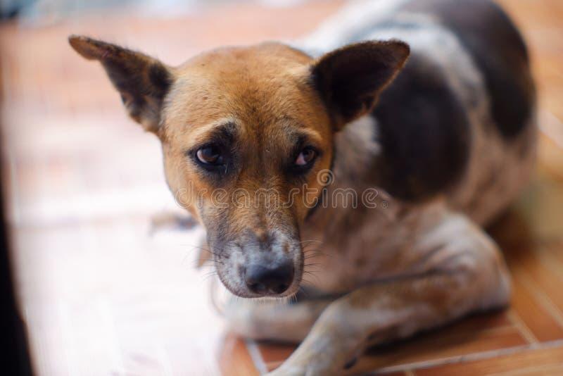 Geschlossen herauf thailändische Hundebraune und weiße Farben schlafen Sie auf braunem Boden stockfotos