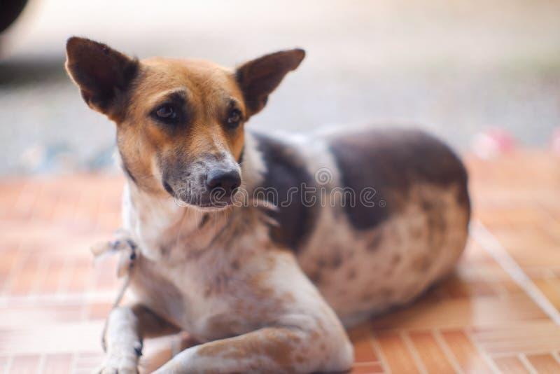 Geschlossen herauf thailändische Hundebraune und weiße Farben schlafen Sie auf braunem Boden stockbild
