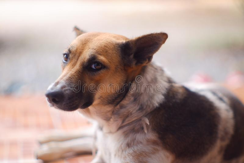 Geschlossen herauf thailändische Hundebraune und weiße Farben schlafen Sie auf braunem Boden lizenzfreie stockfotos
