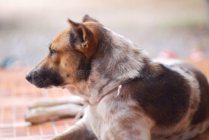 Geschlossen herauf thailändische Hundebraune und weiße Farben schlafen Sie auf braunem Boden stockfoto