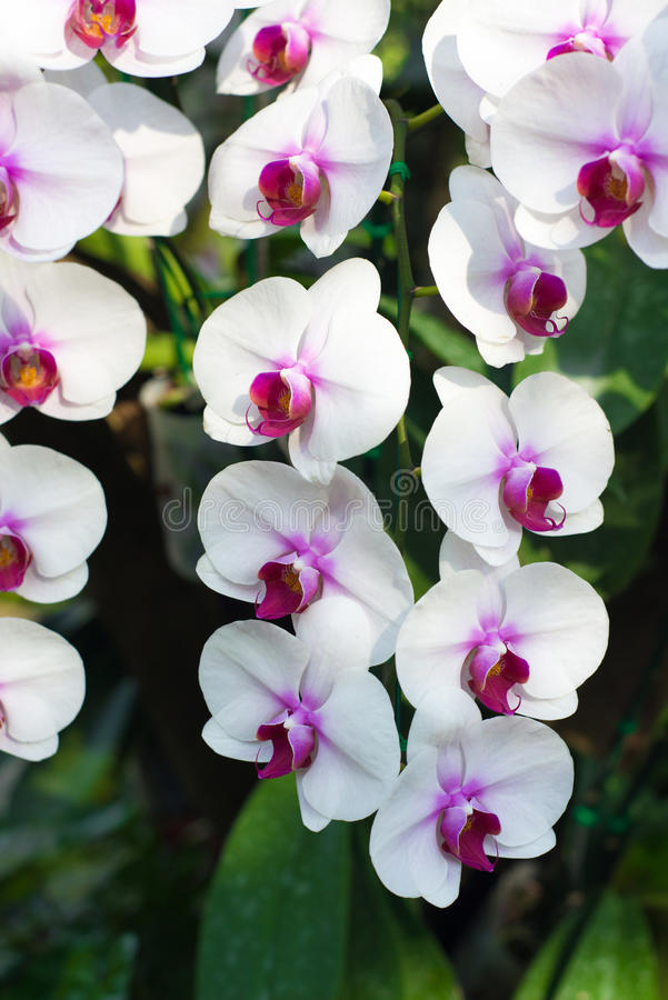 Geschlossen herauf weiße Orchideenblume lizenzfreie stockbilder