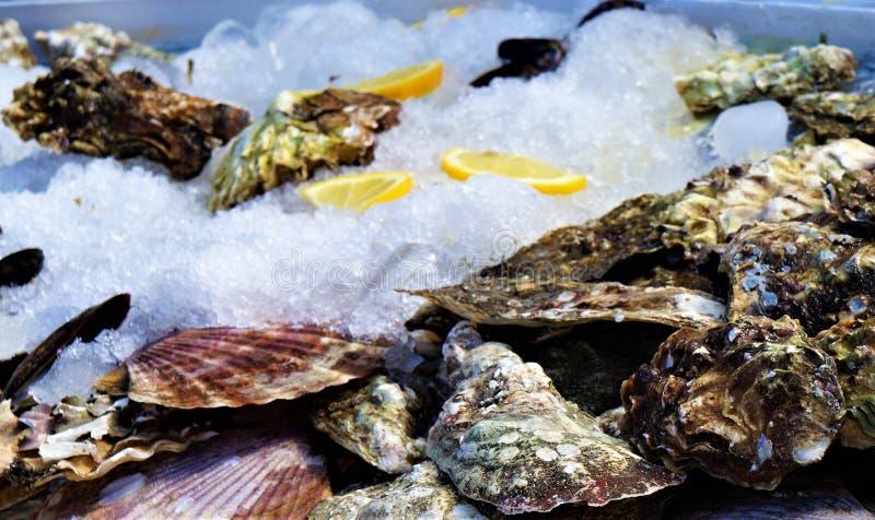 Geschlossene Austern auf Eis, Zartheit des Meeres lizenzfreie stockfotos