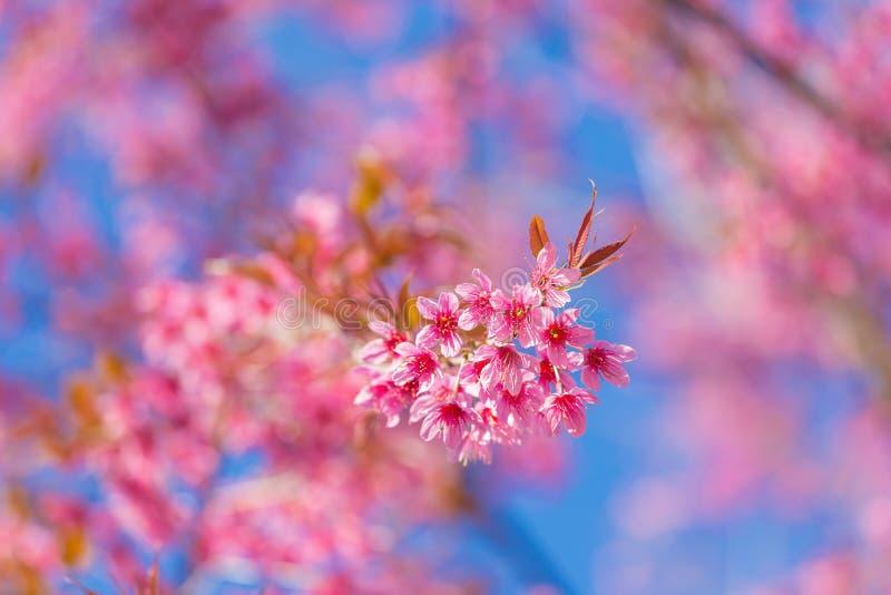 Geschlossene-oben wilde Himalajakirschblüte lizenzfreie stockfotografie