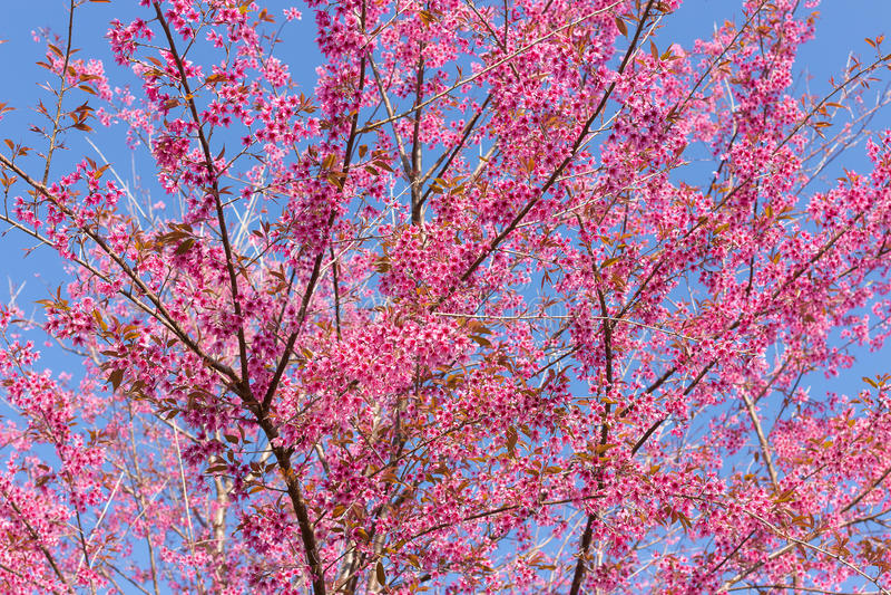 Geschlossene-oben wilde Himalajakirschblüte stockbilder