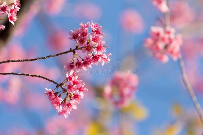 Geschlossene-oben wilde Himalajakirschblüte lizenzfreies stockfoto