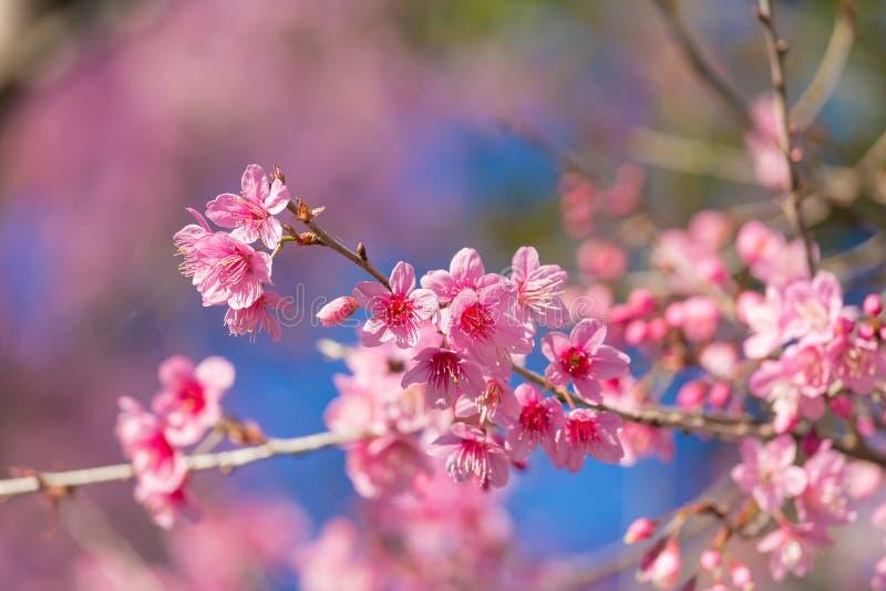 Geschlossene-oben wilde Himalajakirschblüte stockbild