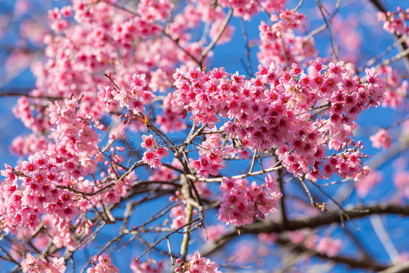 Geschlossene-oben wilde Himalajakirschblüte lizenzfreie stockfotos