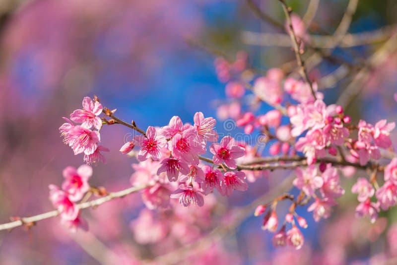 Geschlossene-oben wilde Himalajakirschblüte stockfotografie
