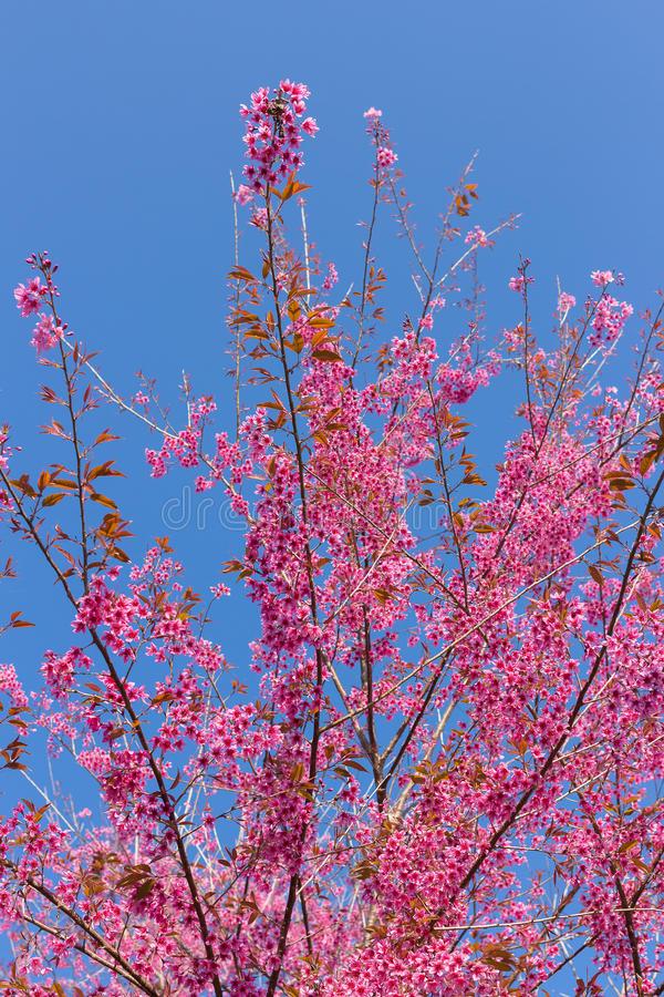 Geschlossene-oben wilde Himalajakirschblüte lizenzfreies stockbild