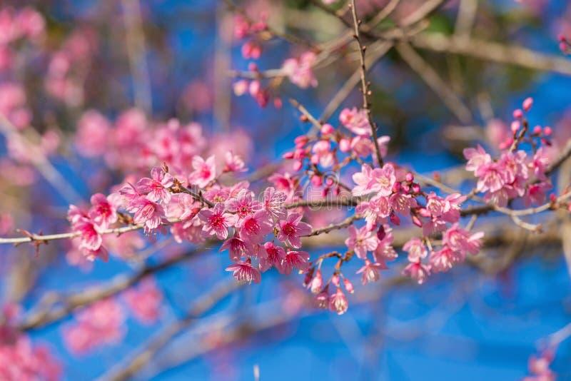 Geschlossene-oben wilde Himalajakirschblüte stockfotos