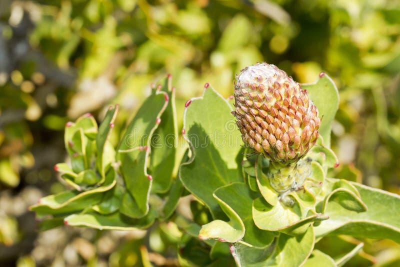 Geschlossene wilde Nadelkissenblume lizenzfreies stockbild