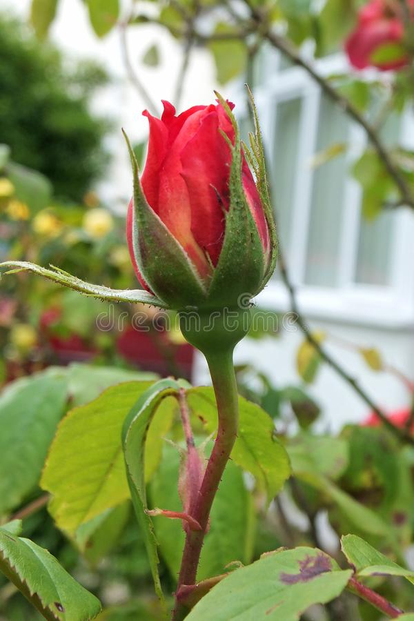 Geschlossener roter Rosebud stockfoto