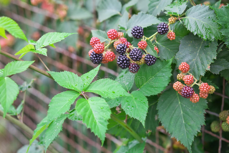 Geschmackvolle Beere von den Brombeeren, die im Garten wachsen lizenzfreie stockfotos