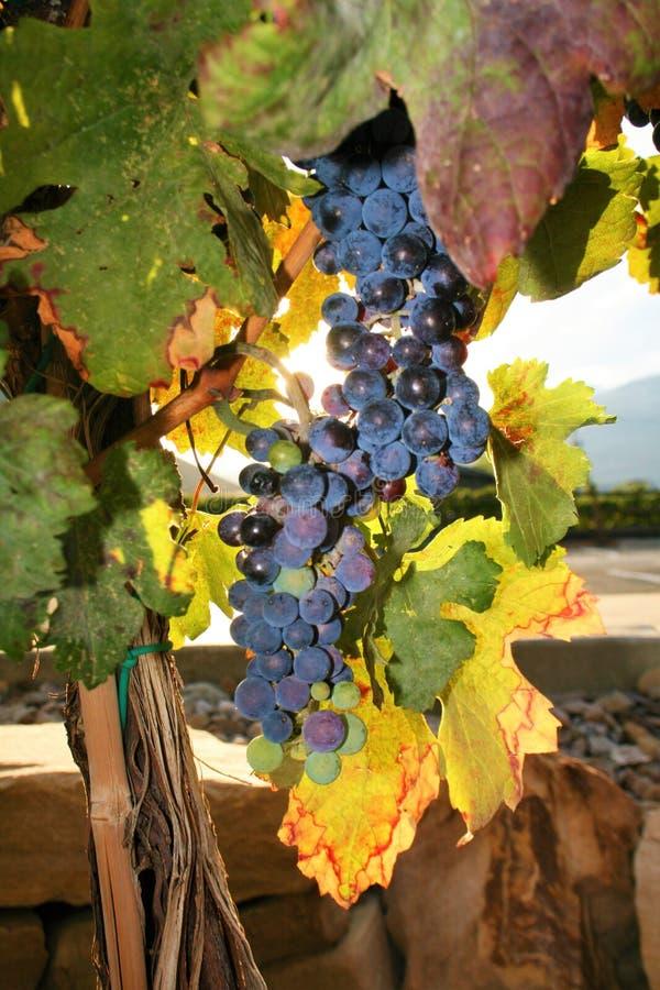 Geschmackvolle Weintrauben vor Ernte stockfotografie