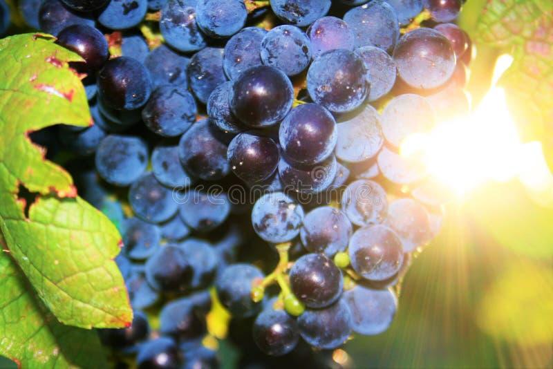 Geschmackvolle Weintrauben vor Ernte stockbilder