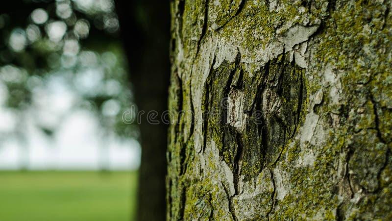 Geschnitzte Herzform auf dem Baum lizenzfreie stockfotos