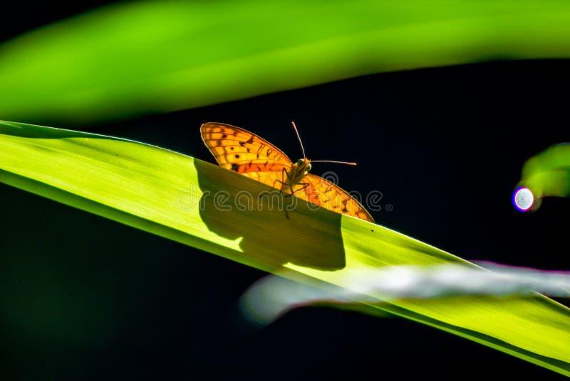 Geschossen von einem Schmetterling auf einem langen Blatt mit einem grünen Hintergrund stockbilder