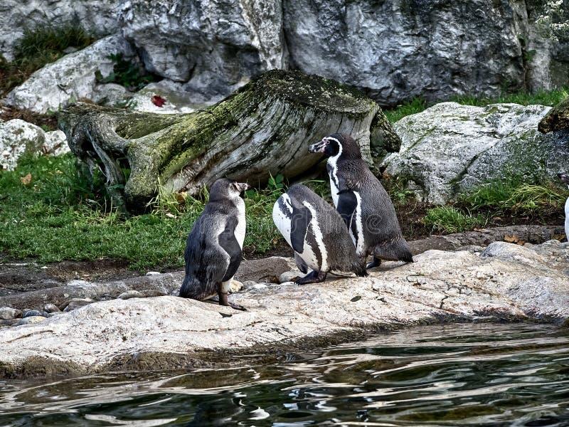 Geschossen von einer Gruppe Pinguinen stockbilder