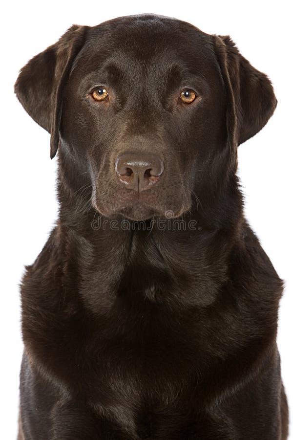 Geschossen von einer starken Schokolade Labrador lizenzfreies stockfoto