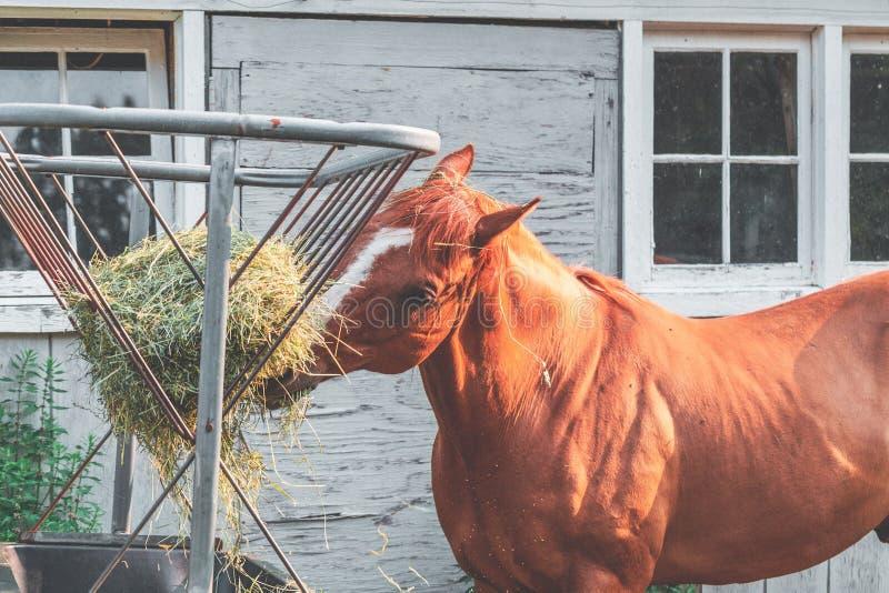Geschoten van een bruin paard die droog gras eten royalty-vrije stock fotografie