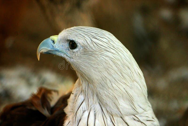 Geschotene close-up en zijaanzicht van Kaal Eagle royalty-vrije stock foto