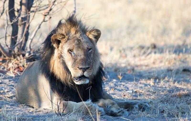 Geschrammter alter schwarzer maned Löwe, der unter einem Baum in Nationalpark Hwange, Simbabwe stillsteht lizenzfreie stockfotos