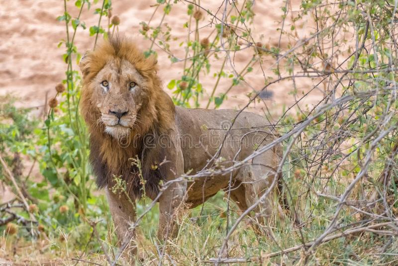 Geschrammter männlicher Löwe, der die Kamera betrachtet stockbild