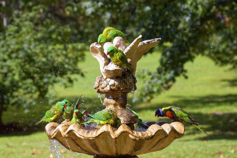 Geschubd-Breasted Lorikeet-de pret van de vogelsplons stock afbeeldingen
