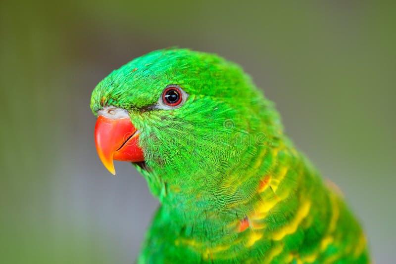Geschubd-Breasted Lorikeet, Trichoglossus-chlorolepidotus, groene papegaai, die op de tak, de ceremonie van de vrijageliefde, Oos stock foto's