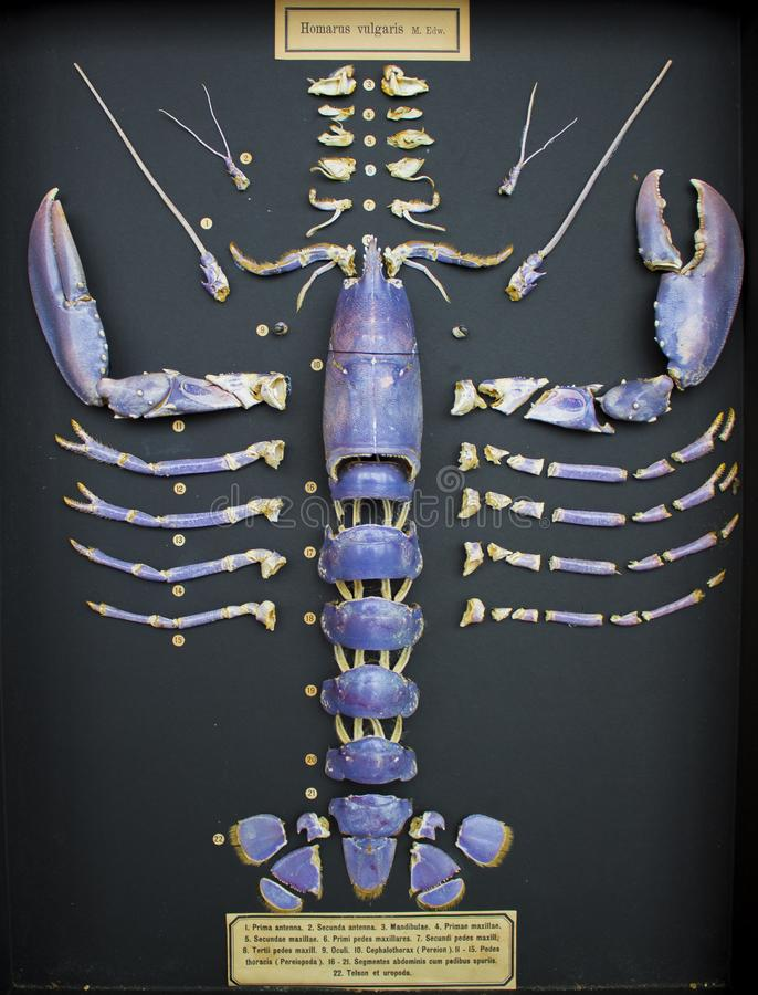 Gesegmenteerd en getoond shell van de Noordzeezeekreeft royalty-vrije stock foto's