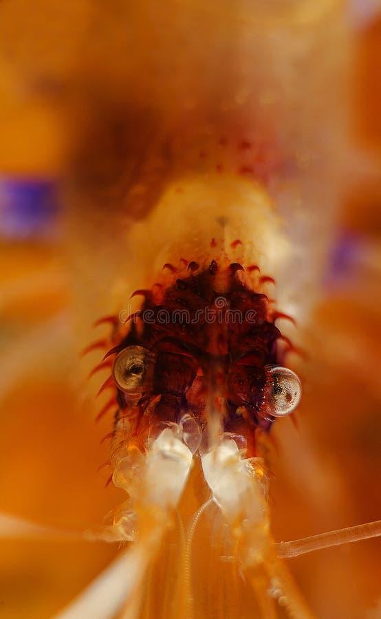 Gesicht der Boxer-Garnele, Anilao lizenzfreie stockfotos