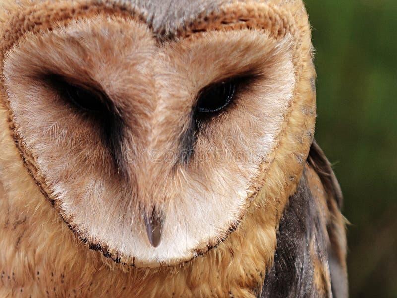 Gesicht der gemeinen Schleiereule (Tyto alba) vorwärts schauend stockfotografie