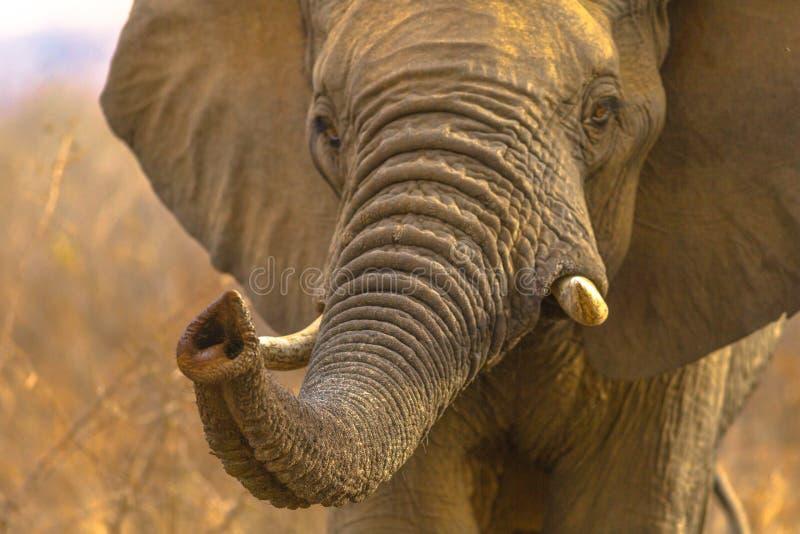 Gesicht des afrikanischen Elefanten stockfotografie