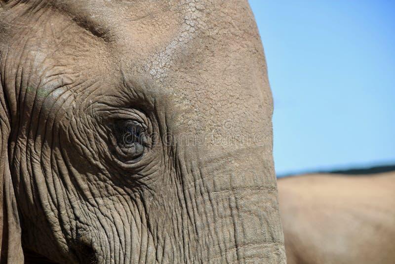 Gesicht des afrikanischen Elefanten lizenzfreie stockbilder