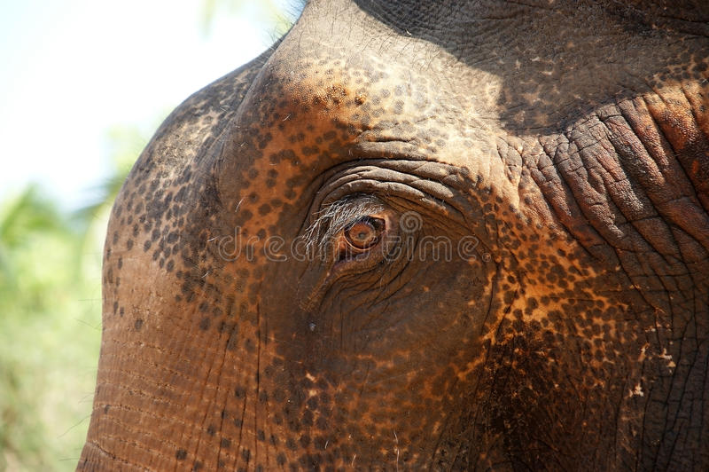 Gesicht des asiatischen Elefanten oder Inder stockfoto