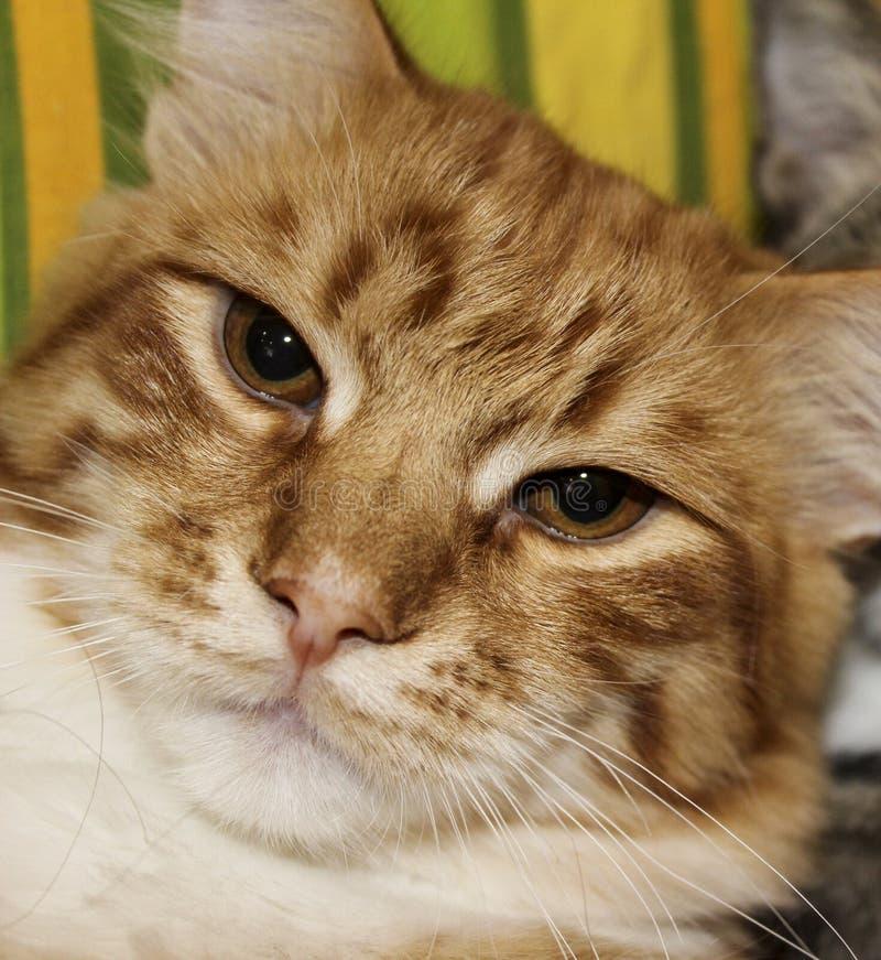 Gesicht des weißen Rotes streifte Katze mit halb geschlossenen Augen ab lizenzfreie stockfotos